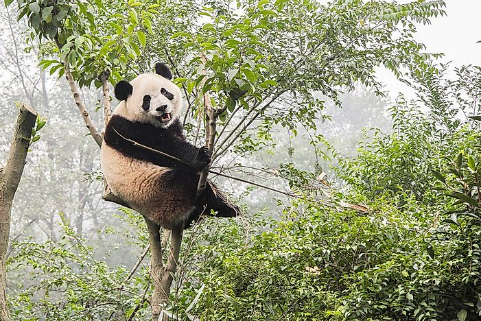 The Population Of Giant Pandas - Important Facts And Figures