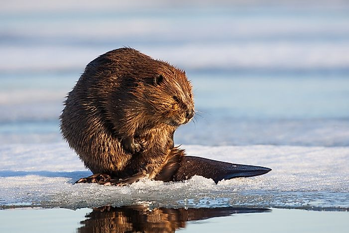 Animals That Live in Canada - WorldAtlas.com