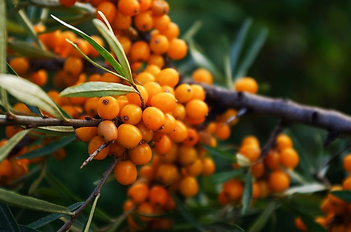 Buckthorn berries.