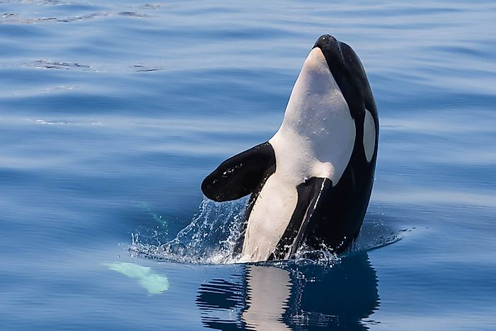 Killer Whale Facts: Animals of North America