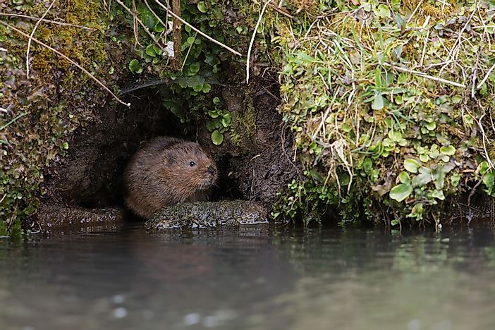 #9 European Water Vole