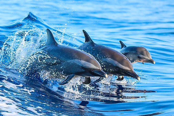 Dolphins in the wild in Hawaii.