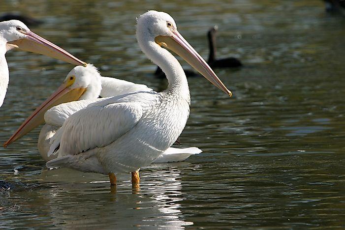 The Eight Extant Species Of Pelicans - WorldAtlas com