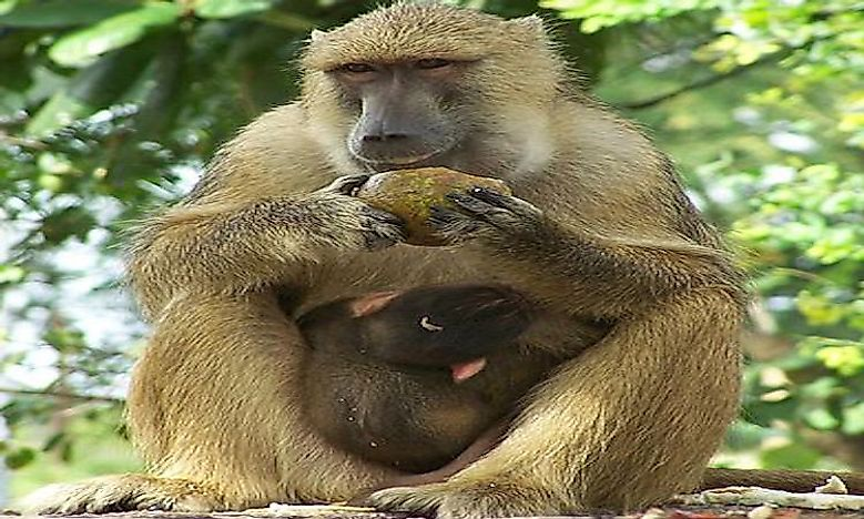 #4 Yellow Baboon  -