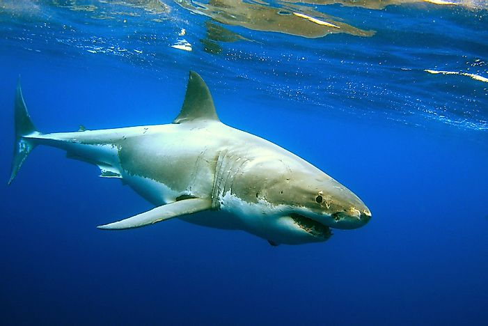 #3 Great white shark