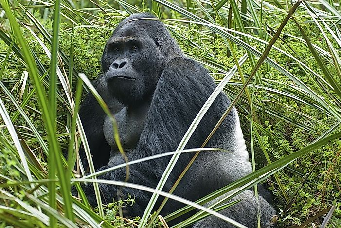 Why Are Grauer's Gorilla Populations So Threatened?
