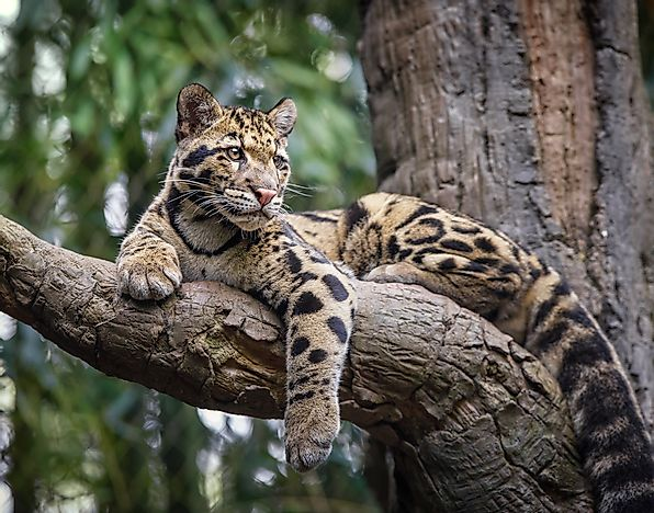 Image result for clouded leopard