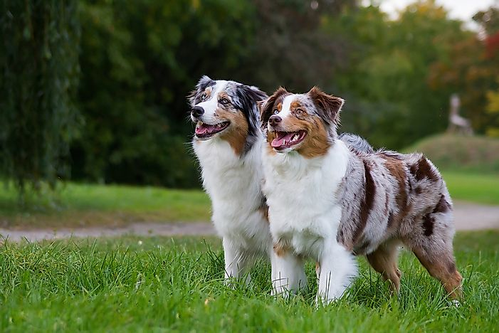 Two Australian shepherd dogs.
