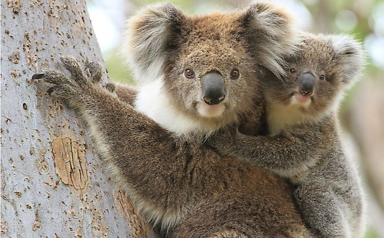 What Is The Role Of Koalas In The Ecosystem?