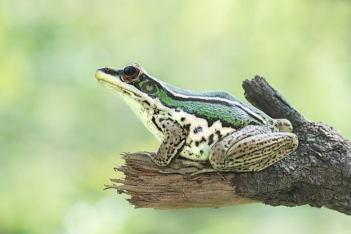 Native Amphibians Of Thailand