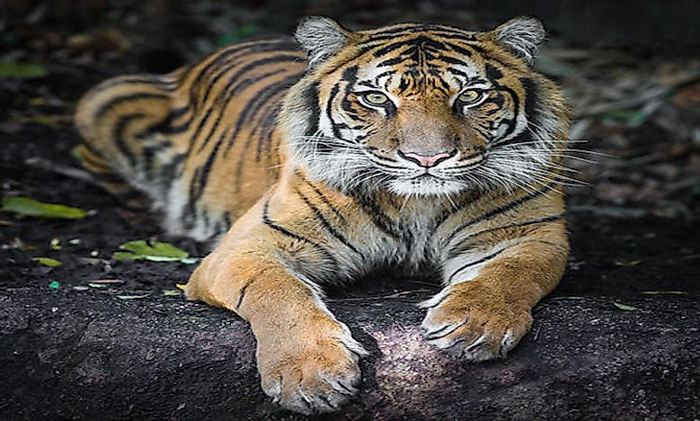 What Are The Different Types Of Tigers Living Today