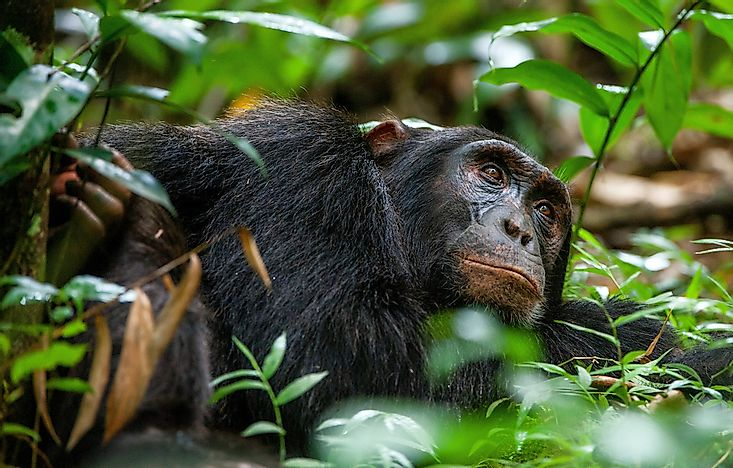 Best Places In The World To Watch Chimpanzees In Their Natural Environment