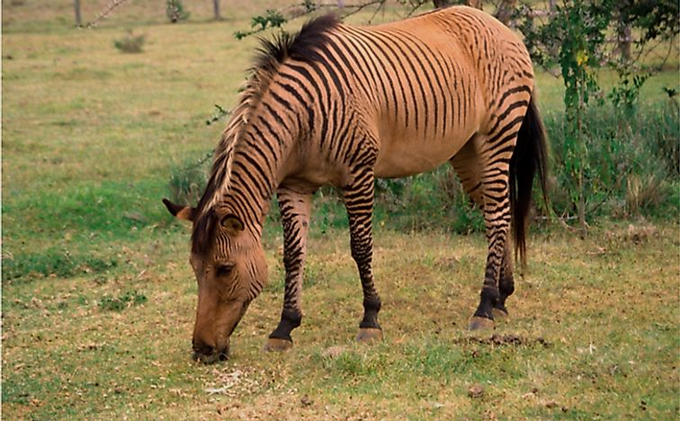 A zebroid (a cross between a horse and a zebra) grazes in Kenya.