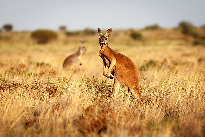#2 Red Kangaroo