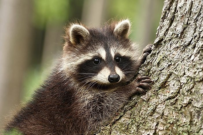 A baby raccoon in a tree.
