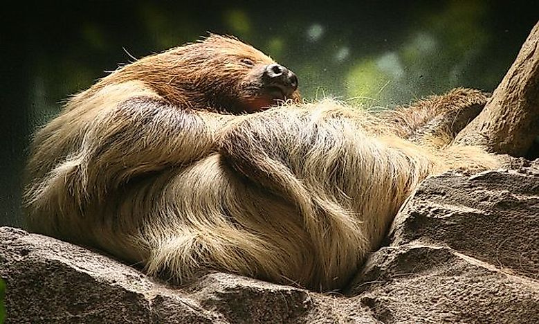 #5 Linnaeus's Two-Toed Sloth  -