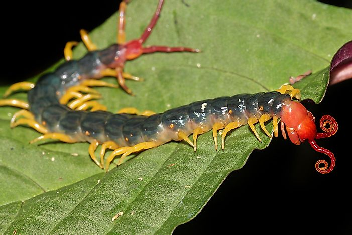 The creepy crawly appearance of the Amazonian Giant Centipede.