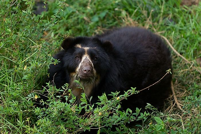 #1 Spectacled Bear Quick Facts