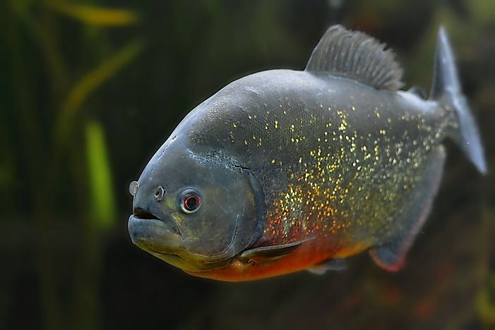 The piranha may look innocent, but don't let that fool you.