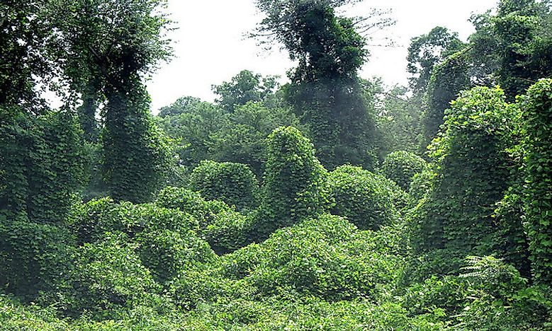 How Did Kudzu Make It to the United States?