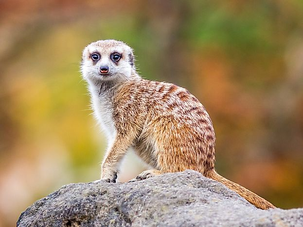 Meerkat Facts: Animals of Africa