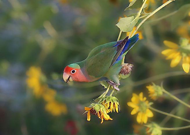The Nine Exisiting Species Of Lovebirds