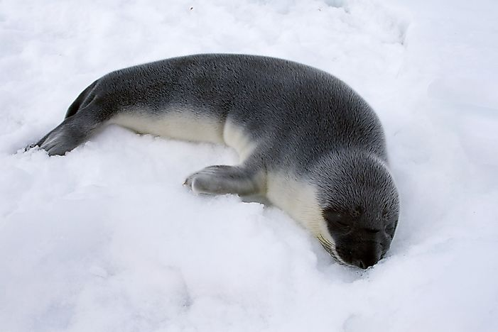 #8 Hooded seal