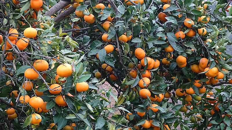 Where Are Clementines Grown?