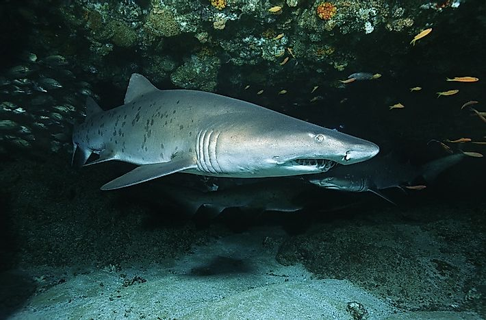 Sand Tiger Sharks: Oceanic Cannibals