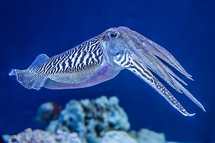 Cuttlefish use counter-illumination when hunting.