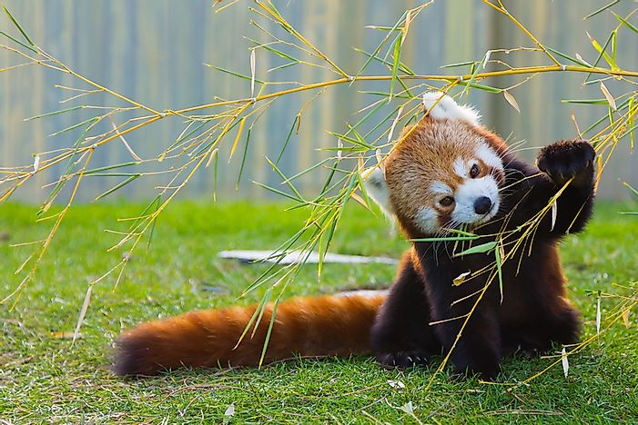 The Population of Red Pandas: Important Facts and Figures