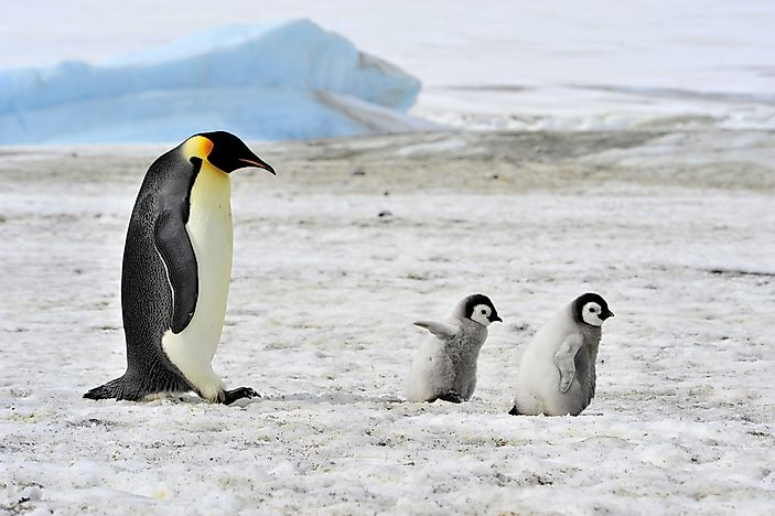 An emperor penguin with two chicks.