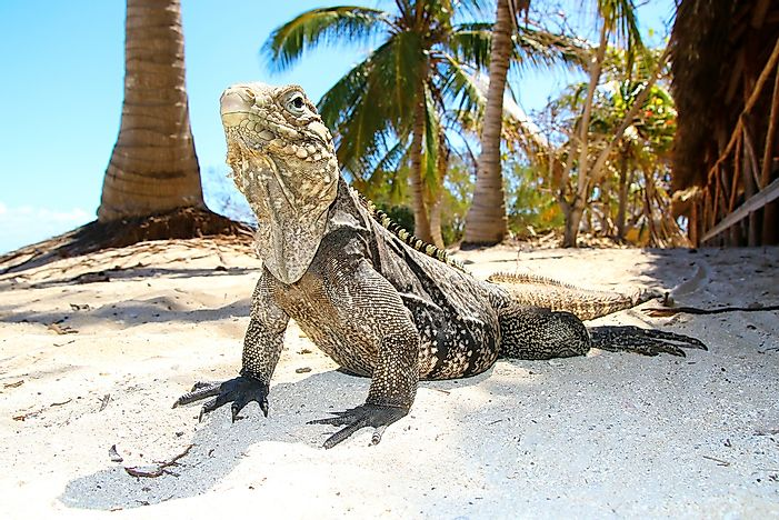 #10 Cuban Ground Iguana