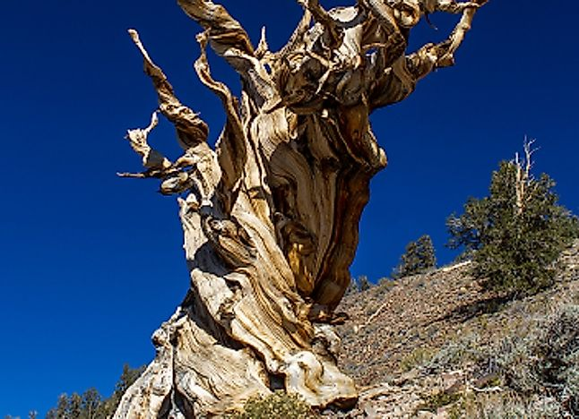Oldest Living Trees On Earth