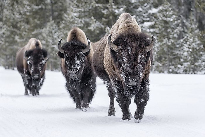 What Are The Differences Between A Bison And A Buffalo?