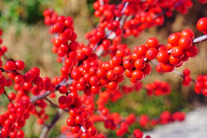 Branches of winterberries.