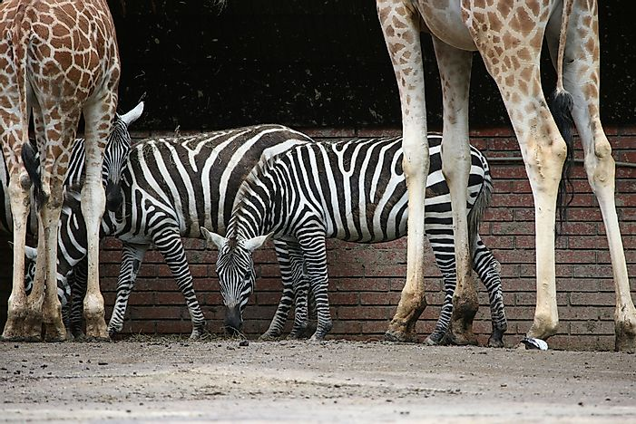 Selous' Zebra with a pair of giraffes.