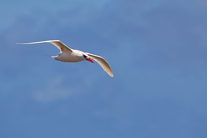 The Three Extant Species Of Tropicbirds Living Today