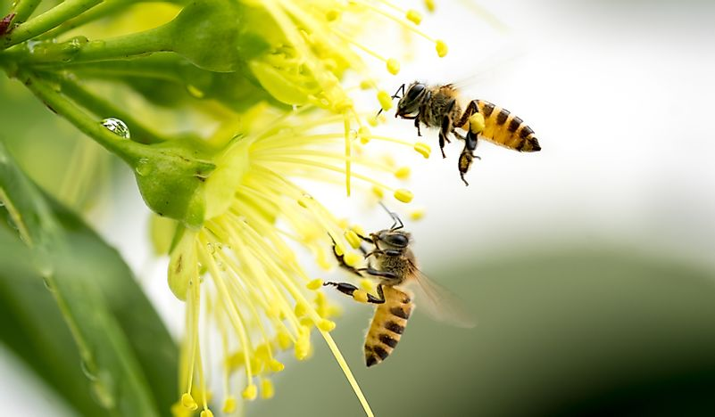 which crops and plants are pollinated by honey bees