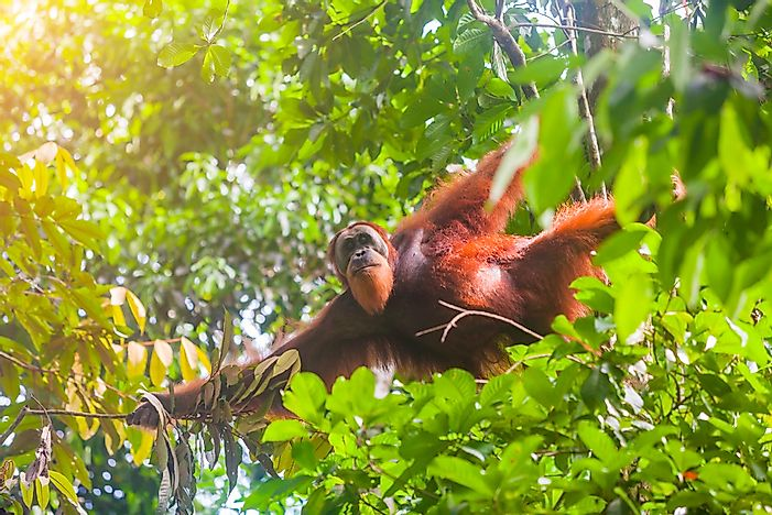 Critically Endangered Species And Subspecies Of Great Apes