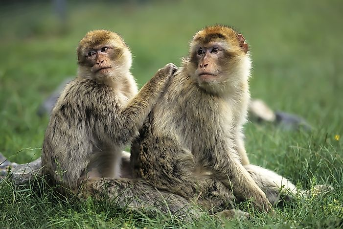 #9 Barbary Macaque