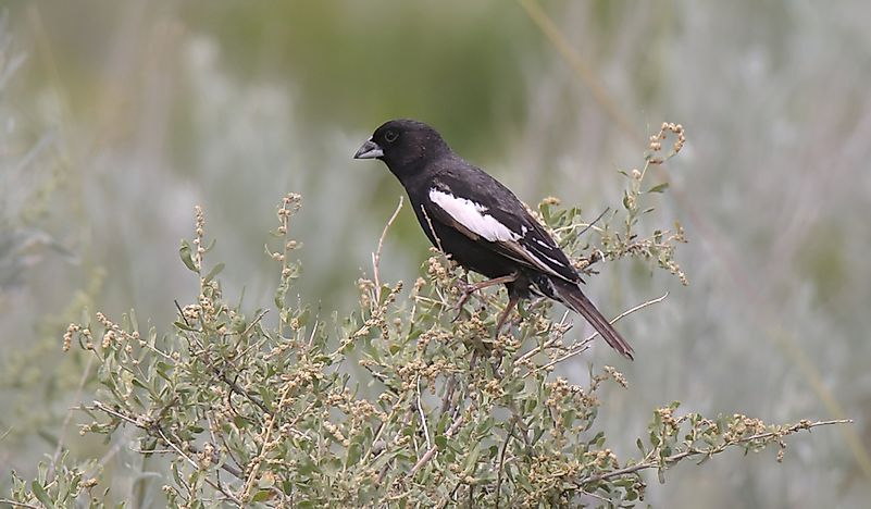 What Is The Colorado State Bird?