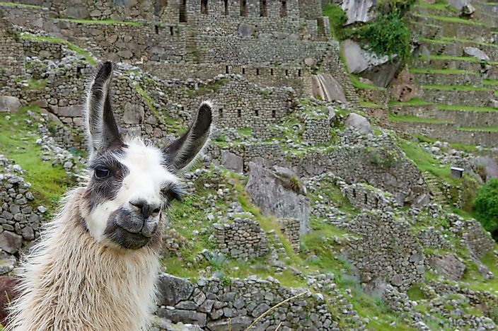 Llamas are known as shy and gentle animals.