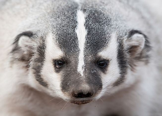American Badger Facts: Animals of North America