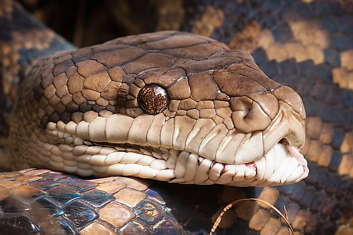 A close-up shot of a carpet python.
