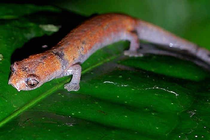 Native Amphibian Species Of Peru