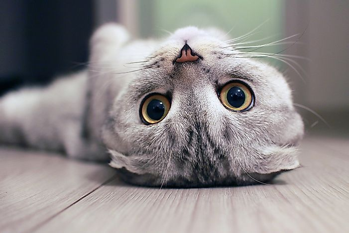 A Scottish fold lying on its back.