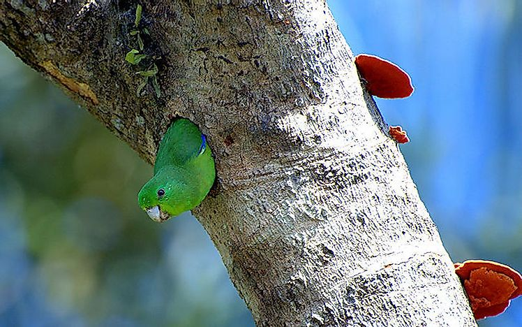 The cavity nest of the blue-winged parrotlet.