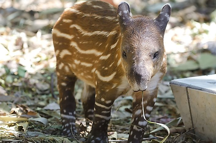 Tapir Facts: Animals of the World
