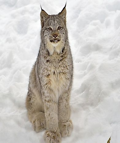 Canadian Lynx Facts: Animals of North America